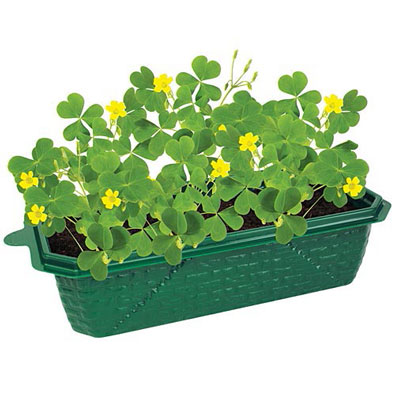 Grow Your Own Lucky Shamrocks